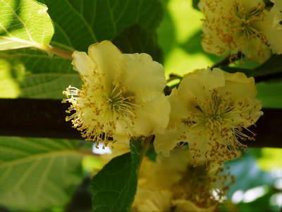 水源キウイ 開花から着果までの様子 今年(平成30年度)も無農薬で育て販売いたします!_a0254656_19133704.jpg