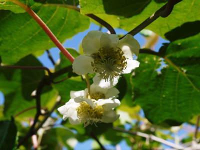 水源キウイ 開花から着果までの様子 今年(平成30年度)も無農薬で育て販売いたします!_a0254656_19145828.jpg