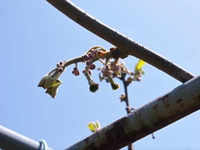 水源キウイ 開花から着果までの様子 今年(平成30年度)も無農薬で育て販売いたします!_a0254656_19171053.jpg