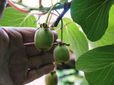 水源キウイ 開花から着果までの様子 今年(平成30年度)も無農薬で育て販売いたします!_a0254656_19180676.jpg