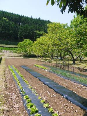 水源キウイ 開花から着果までの様子 今年(平成30年度)も無農薬で育て販売いたします!_a0254656_19261056.jpg