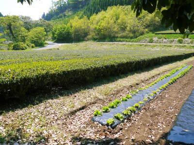 水源キウイ 開花から着果までの様子 今年(平成30年度)も無農薬で育て販売いたします!_a0254656_19265711.jpg
