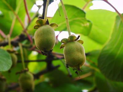 水源キウイ 開花から着果までの様子 今年(平成30年度)も無農薬で育て販売いたします!_a0254656_19280871.jpg