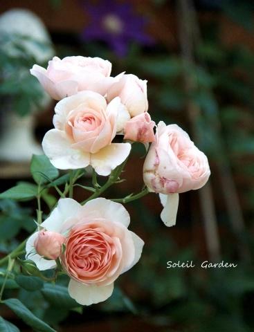◆遅咲きのバラ_e0154682_23303900.jpg