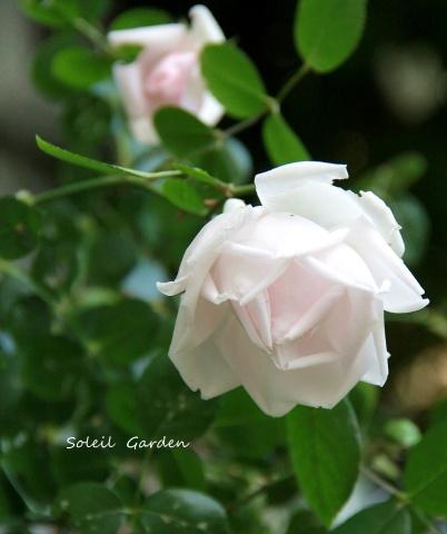 ◆遅咲きのバラ_e0154682_23340078.jpg