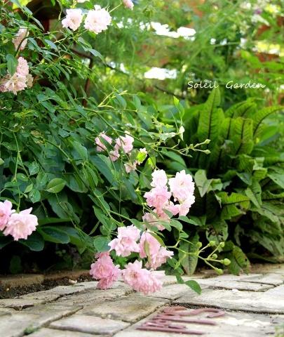 ◆遅咲きのバラ_e0154682_23404248.jpg