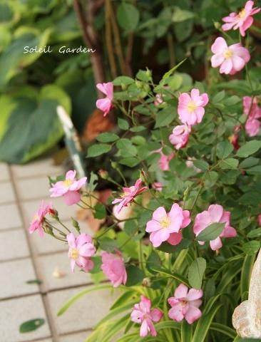 ◆遅咲きのバラ_e0154682_23431644.jpg