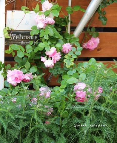 ◆遅咲きのバラ_e0154682_23452766.jpg