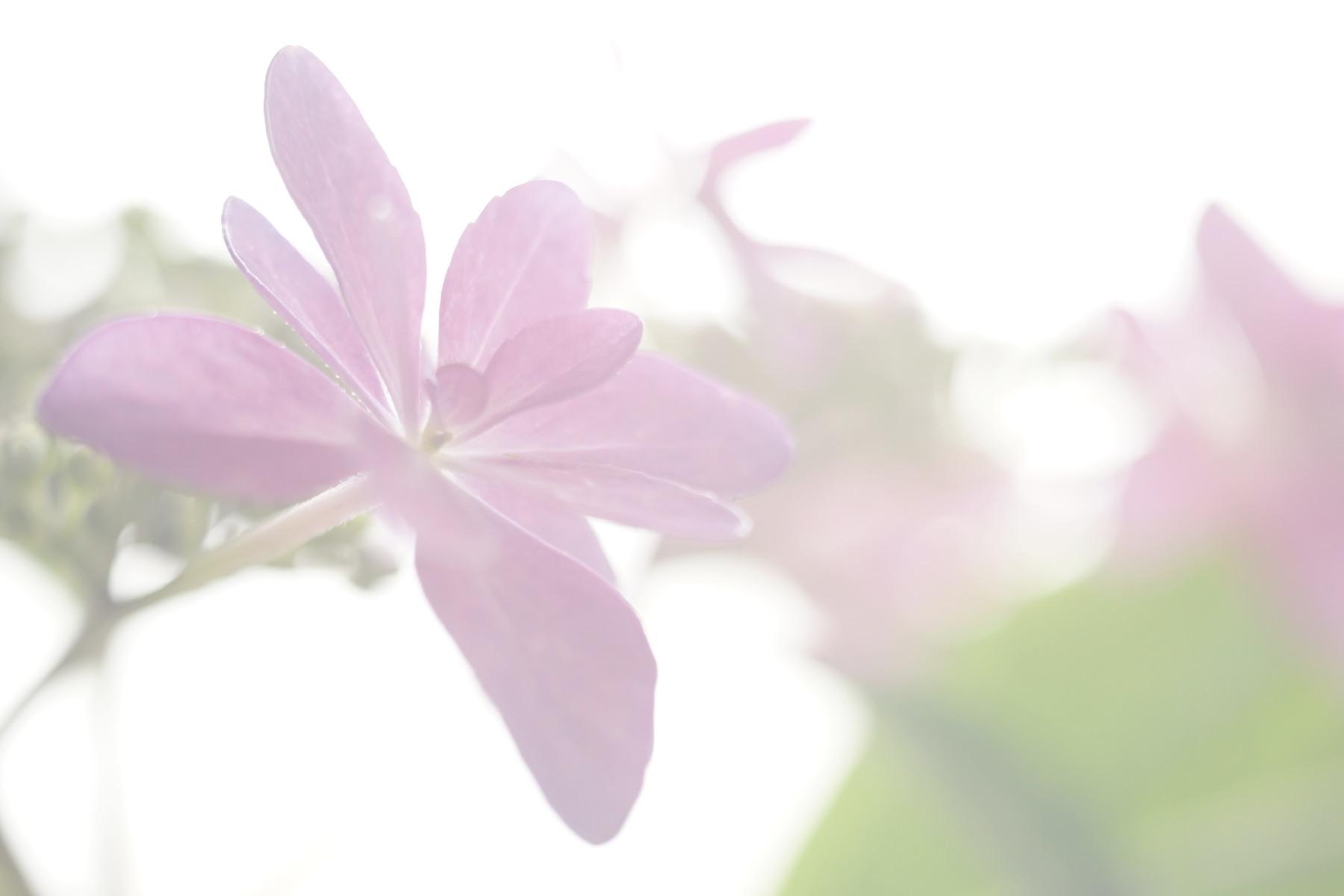 古いレンズで紫陽花を撮る....その1_f0381792_18563756.jpg
