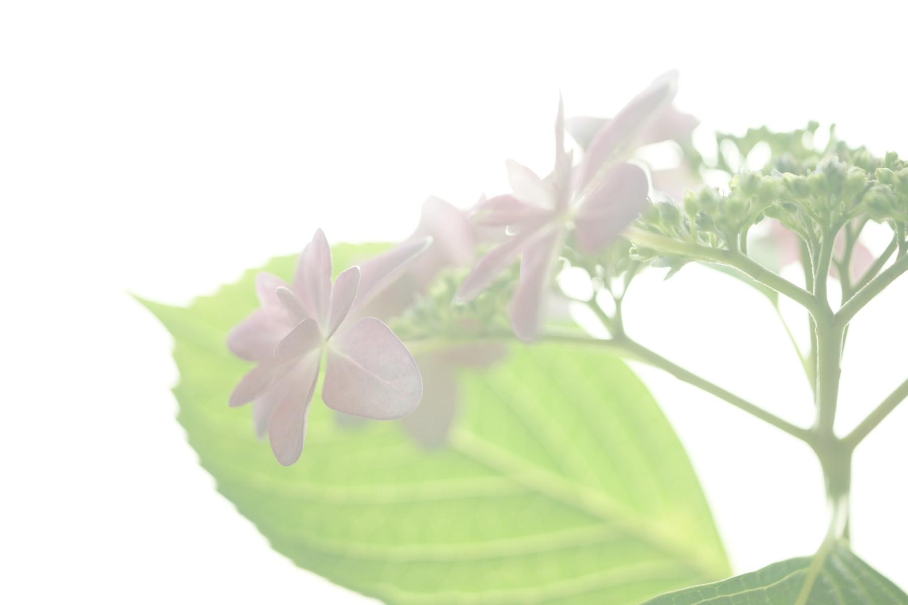 古いレンズで紫陽花を撮る....その1_f0381792_18572085.jpg