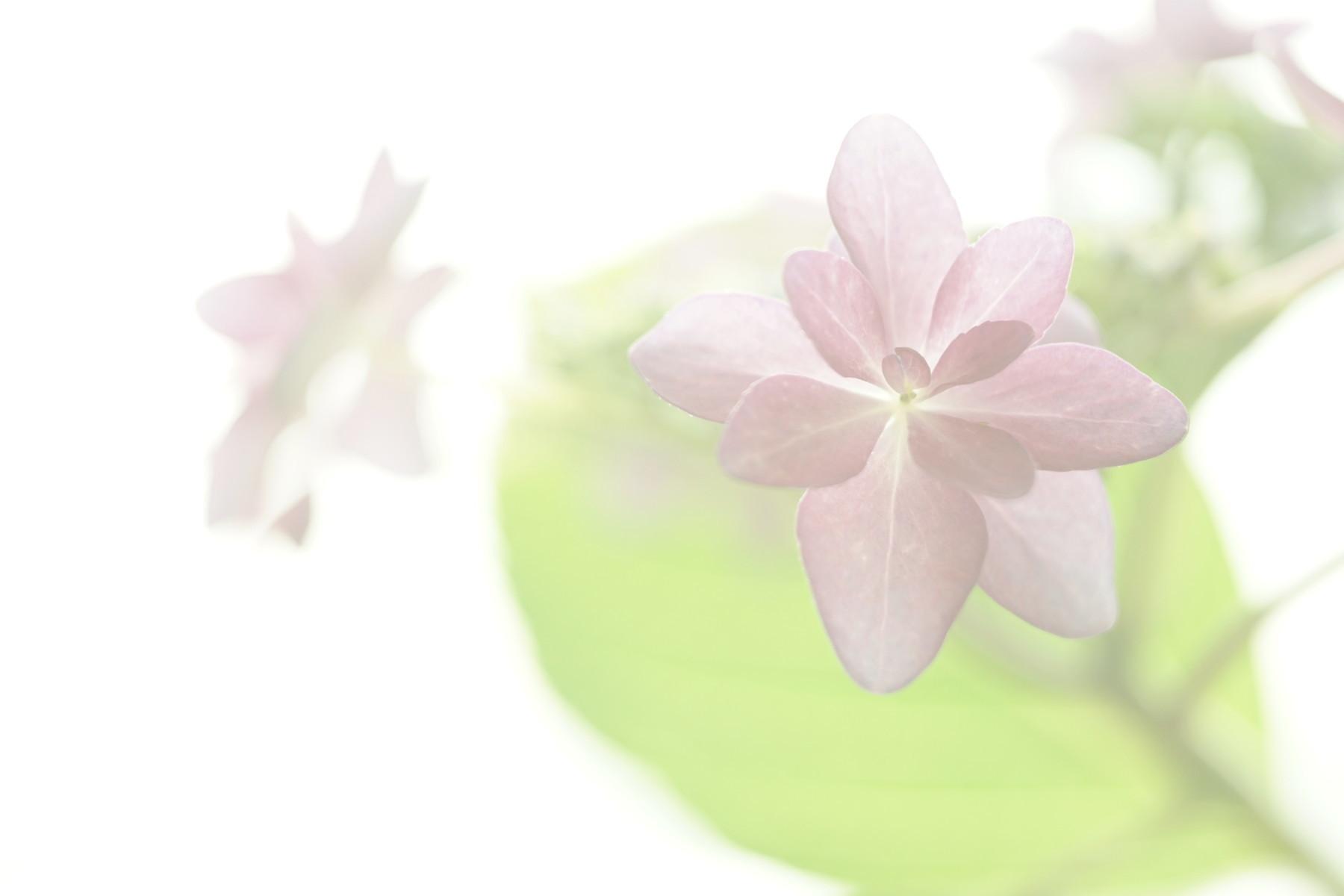 古いレンズで紫陽花を撮る....その1_f0381792_18573928.jpg