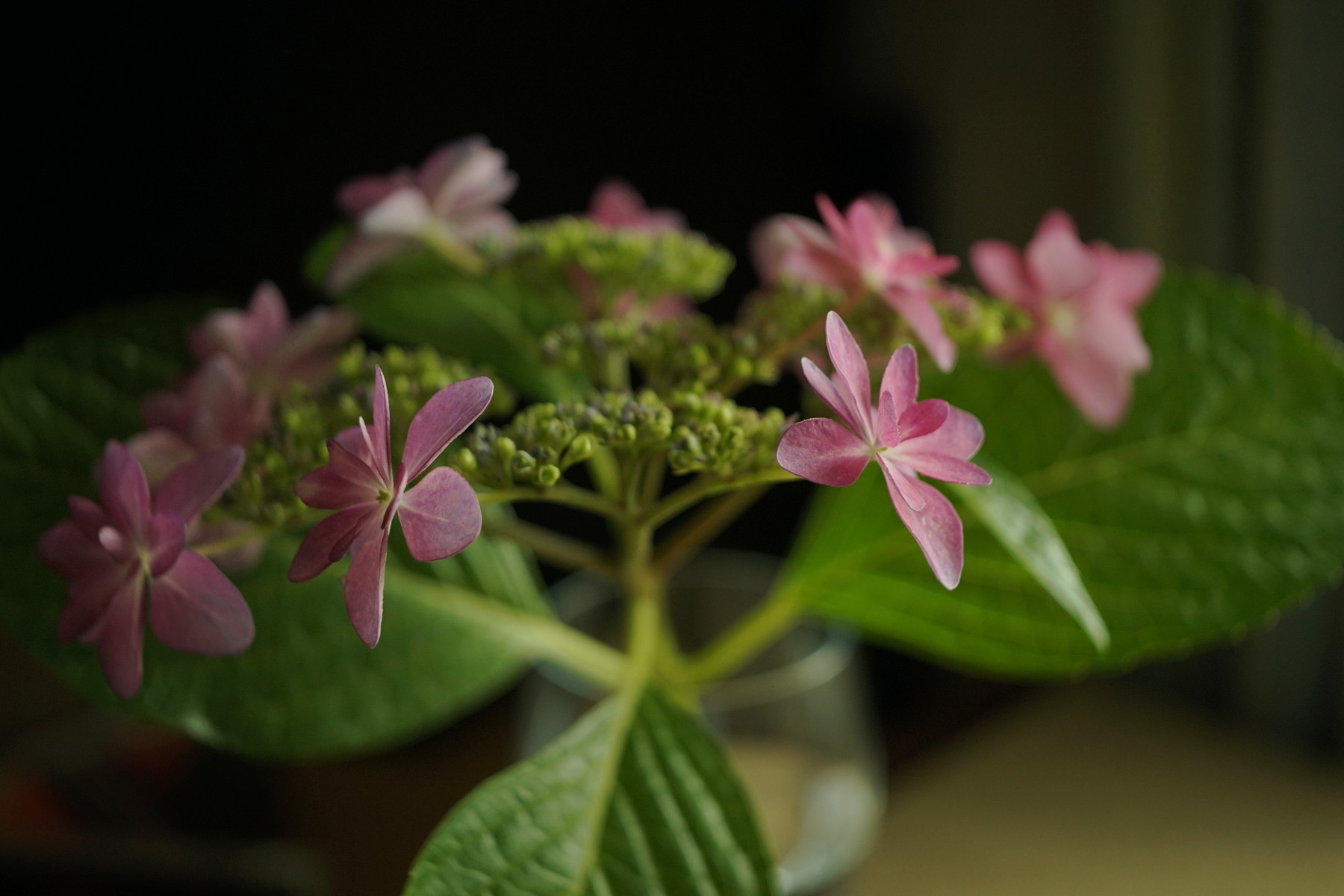 古いレンズで紫陽花を撮る....その1_f0381792_19003693.jpg