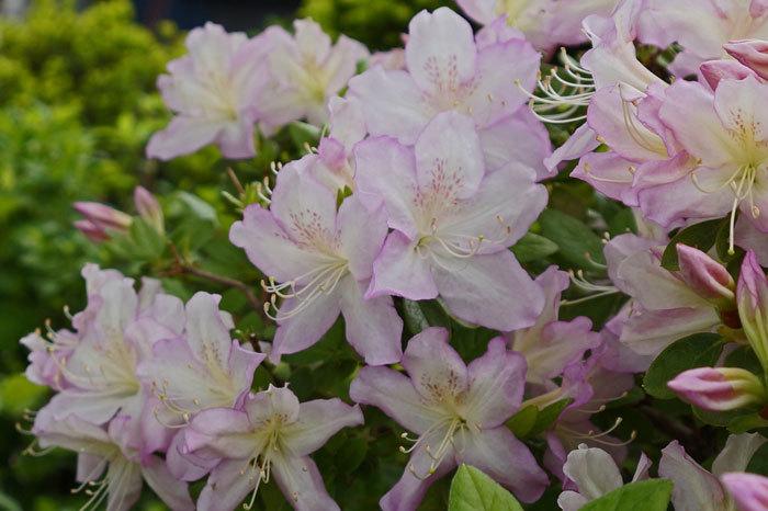 花咲く・・5月_d0162994_06570681.jpg