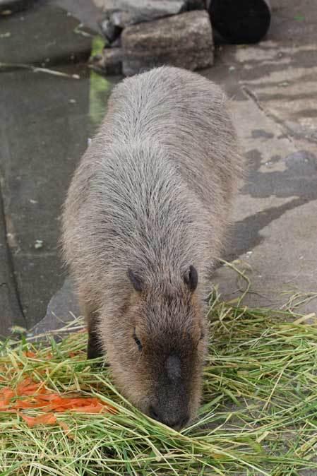 千葉市動物公園~子ども動物園の動物たち:カピバラ「モーブ」、テンジクネズミの橋渡り_b0355317_21275525.jpg