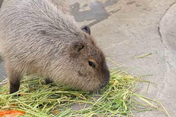 千葉市動物公園~子ども動物園の動物たち:カピバラ「モーブ」、テンジクネズミの橋渡り_b0355317_21322663.jpg