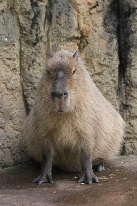 千葉市動物公園~子ども動物園の動物たち:カピバラ「モーブ」、テンジクネズミの橋渡り_b0355317_21333635.jpg