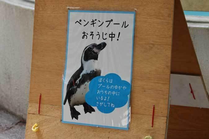 千葉市動物公園~子ども動物園の動物たち:カピバラ「モーブ」、テンジクネズミの橋渡り_b0355317_21431115.jpg