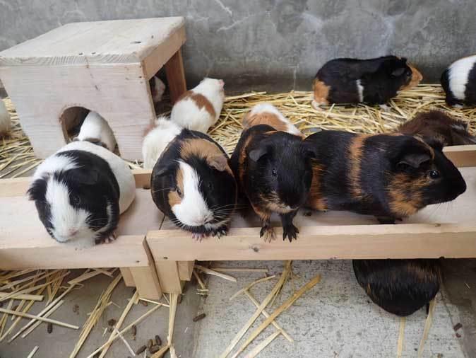 千葉市動物公園~子ども動物園の動物たち:カピバラ「モーブ」、テンジクネズミの橋渡り_b0355317_21443447.jpg