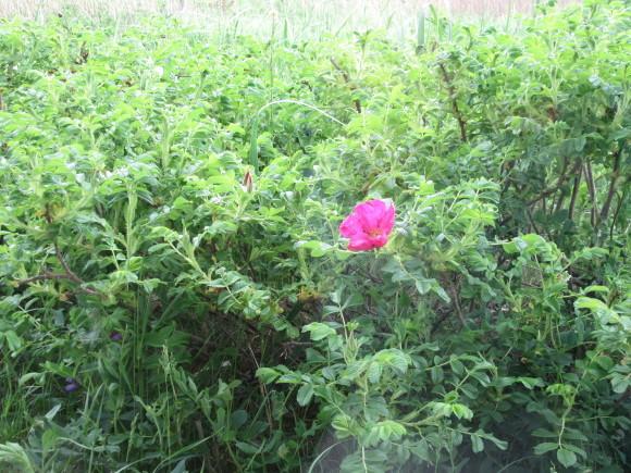 ハマナス咲きました!_f0354435_14032989.jpg