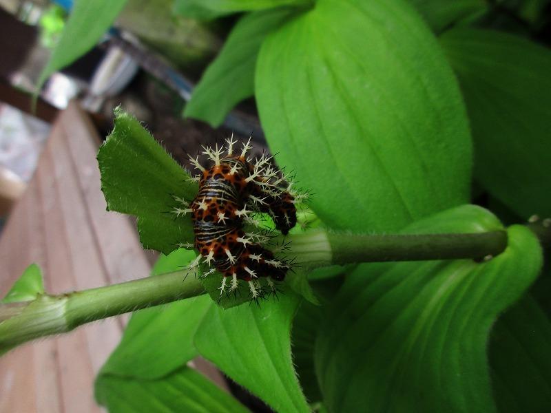 日常「ルリタテハの幼虫」_b0362459_12335648.jpg