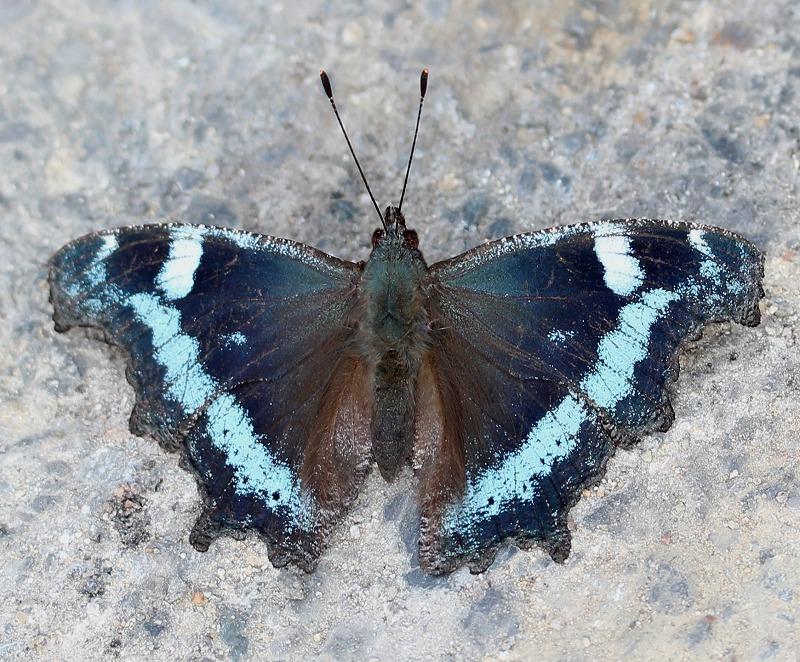 日常「ルリタテハの幼虫」_b0362459_13173776.jpg