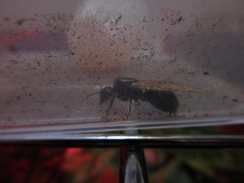 日常「ルリタテハの幼虫」_b0362459_14004188.jpg