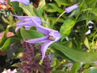 オークリーフ(スグリと紫陽花)_f0049672_16592329.jpg