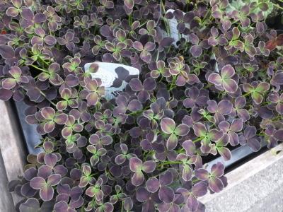 オークリーフ(スグリと紫陽花)_f0049672_17023691.jpg