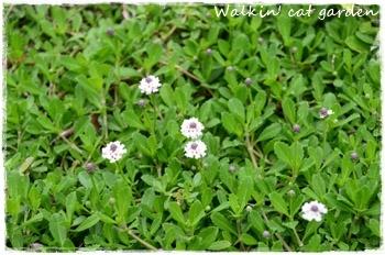 クラピアのお花が_c0322789_14480649.jpg
