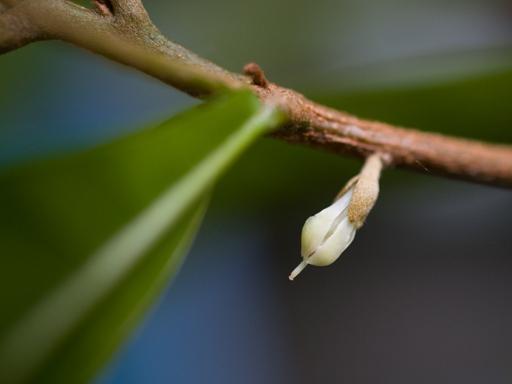 ミラクルフルーツの花(クローズアップ)