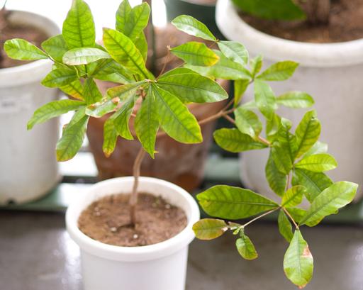 鉢植えミラクルフルーツ全体像