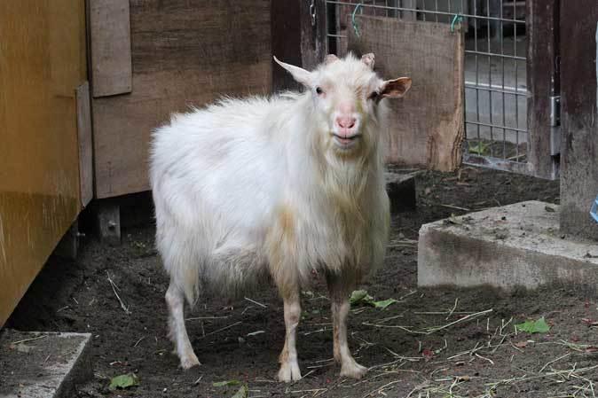 千葉市動物公園~子ども動物園の動物たち:げんのすけ!_b0355317_22013812.jpg
