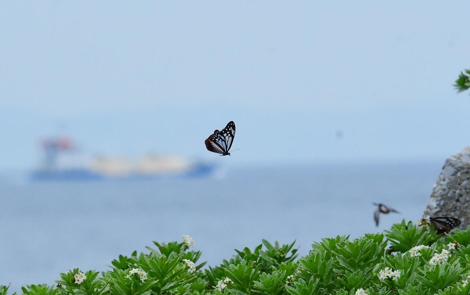 アサギマダラ   in  姫島_d0285540_05334998.jpg