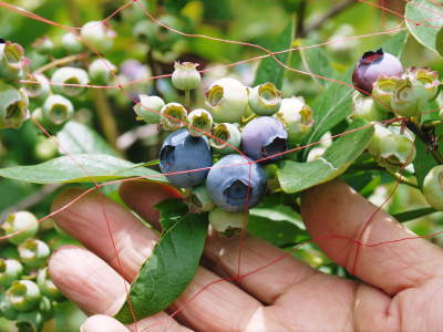 無農薬フレッシュブルーベリー 平成30年度の先行予約受付をスタート!今年も美味しく実りました!_a0254656_17574474.jpg