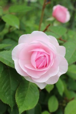 バラの開花が次々と♪_e0341606_22222230.jpg
