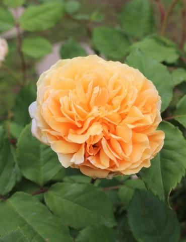 バラの開花が次々と♪_e0341606_22234973.jpg