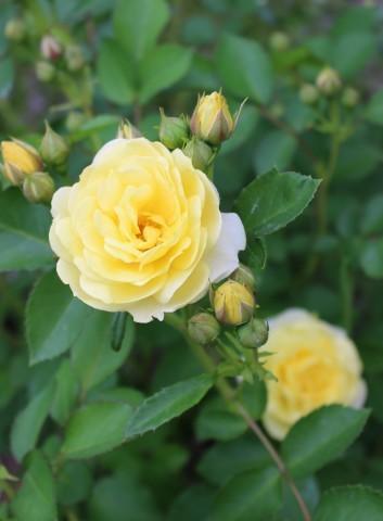 バラの開花が次々と♪_e0341606_22251123.jpg