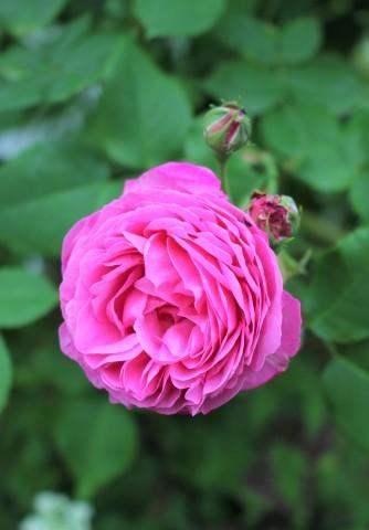 バラの開花が次々と♪_e0341606_22291565.jpg