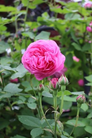 バラの開花が次々と♪_e0341606_22311128.jpg