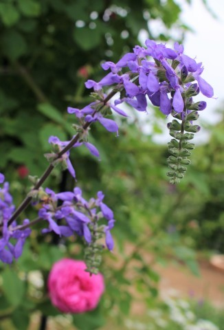 バラの開花が次々と♪_e0341606_22333835.jpg