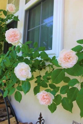 バラの開花が次々と♪_e0341606_22445342.jpg