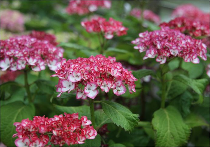 庭の花  紫陽花_a0256349_17295477.jpg