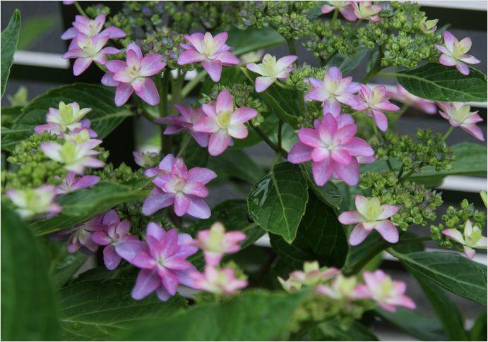 庭の花  紫陽花_a0256349_1730135.jpg