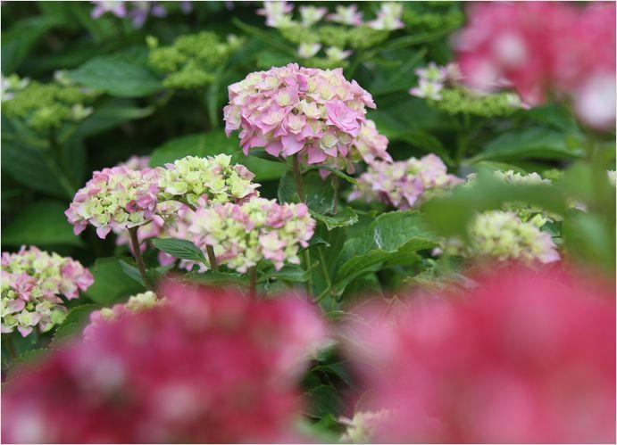 庭の花  紫陽花_a0256349_1730679.jpg