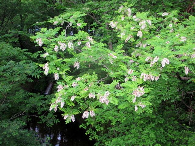 初夏の白い花 * ニセアカシア ~ ツツジ ~ ヤマボウシ_f0236260_22325041.jpg