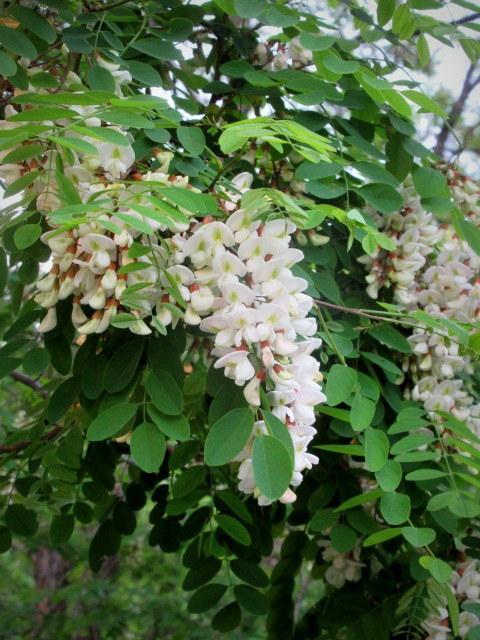 初夏の白い花 * ニセアカシア ~ ツツジ ~ ヤマボウシ_f0236260_22345708.jpg