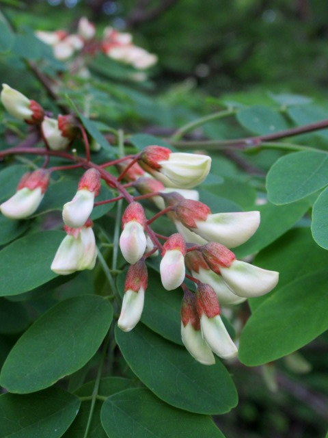 初夏の白い花 * ニセアカシア ~ ツツジ ~ ヤマボウシ_f0236260_22351730.jpg