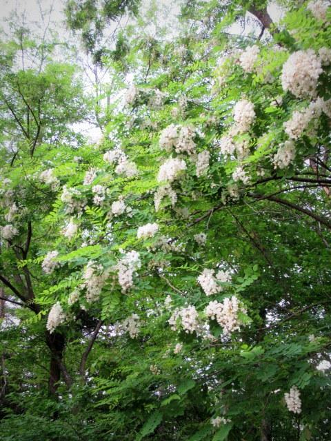 初夏の白い花 * ニセアカシア ~ ツツジ ~ ヤマボウシ_f0236260_22353447.jpg