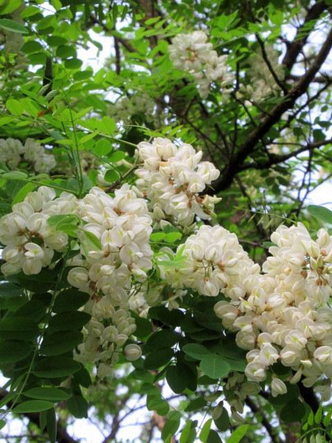 初夏の白い花 * ニセアカシア ~ ツツジ ~ ヤマボウシ_f0236260_22363364.jpg