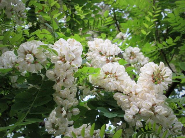 初夏の白い花 * ニセアカシア ~ ツツジ ~ ヤマボウシ_f0236260_22365109.jpg